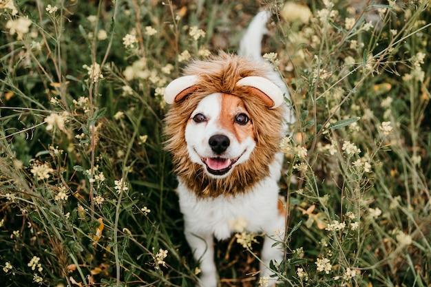 Ładny pies jack russell w kostiumie lwa na głowie. szczęśliwy pies na zewnątrz w przyrodzie w żółte kwiaty łąka. słoneczna wiosna