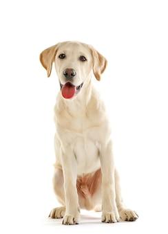 Ładny pies labrador siedzi na białym tle