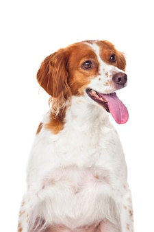 Ładny pies myśliwski na białym tle