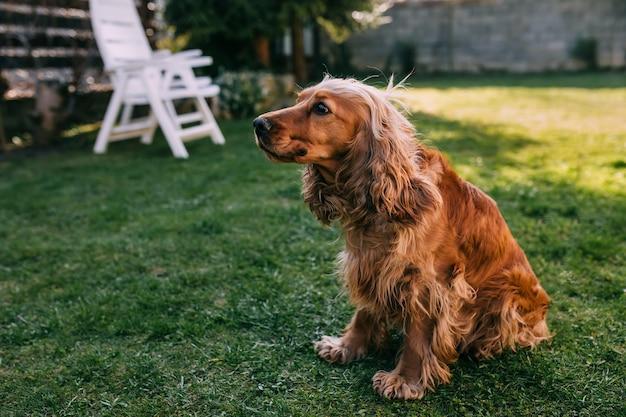 Ładny pies rasowy siedzi na zielonej trawie na podwórku