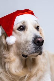 Ładny pies retriever w świątecznej czapce