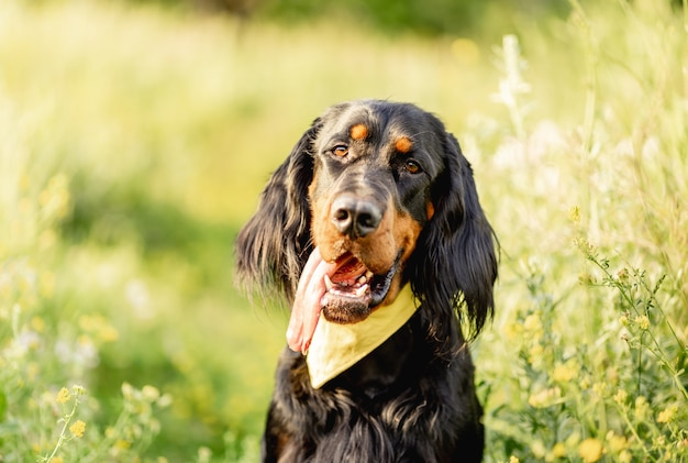 Ładny pies seter szkocki na powierzchni zielonej trawy