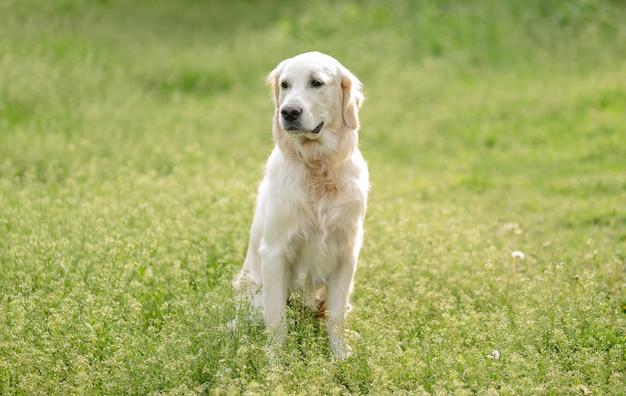 Ładny pies siedzi na kwitnącym polu