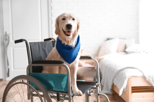 Ładny pies usługowy siedzi na wózku inwalidzkim w pomieszczeniu