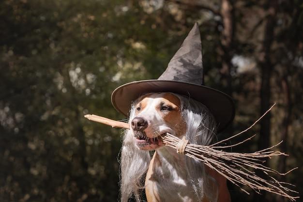 Ładny pies w kapeluszu czarownicy trzymając miotłę. portret piękny szczeniak staffordshire terrier w kostium na halloween z miotłą czarownicy w jesiennym lesie