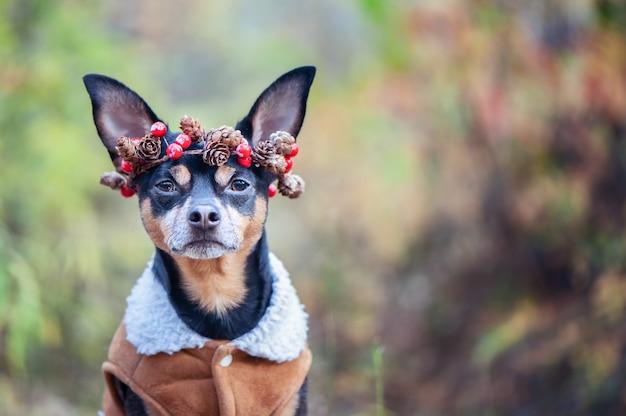 Ładny pies w płaszczu z owczej skóry i wieniec z szyszek i jagód, jesienny nastrój, miejsce na tekst