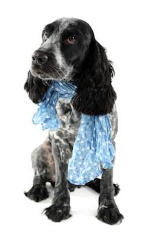 Ładny pies z niebieskim krawatem na białym tle