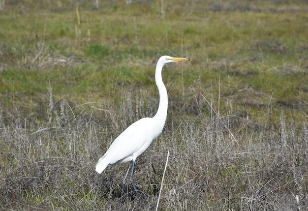 Ładny ptak czapli białej na wiejskim polu siana