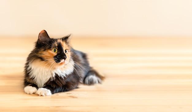 Ładny puszysty młody trójkolorowy pomarańczowo-czarno-biały kot leżący na drewnianej podłodze. skopiuj miejsce na tekst. ulubione zwierzęta domowe.