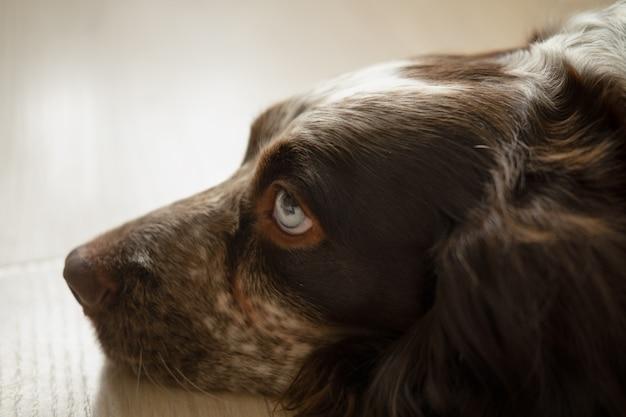Ładny rosyjski spaniel czekoladowy merle niebieskie oczy psa leżącego na podłodze. smutne, oddane oczy.