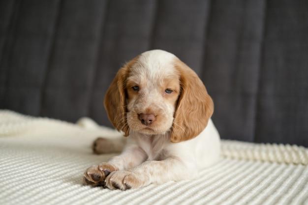 Ładny rosyjski spaniel czerwony i biały merle niebieskie oczy szczeniak leżącego na kanapie w białą kratę.