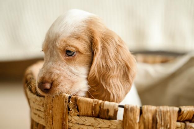 Ładny rosyjski spaniel czerwony i biały niebieski oczy szczeniak pies leżący w koszu z rattanu. koncepcja ekologiczna.