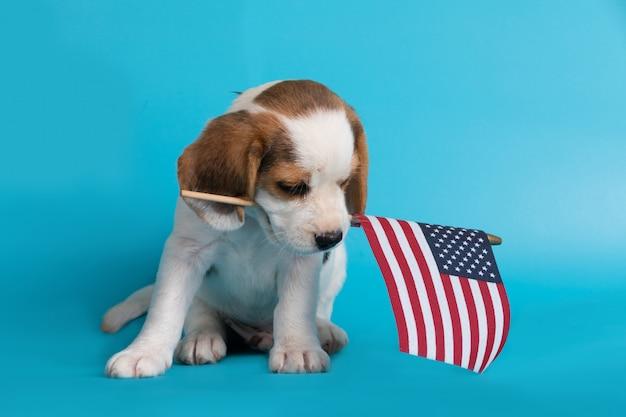Ładny sprytny szczeniak rasy beagle z flagą amerykańską w ustach