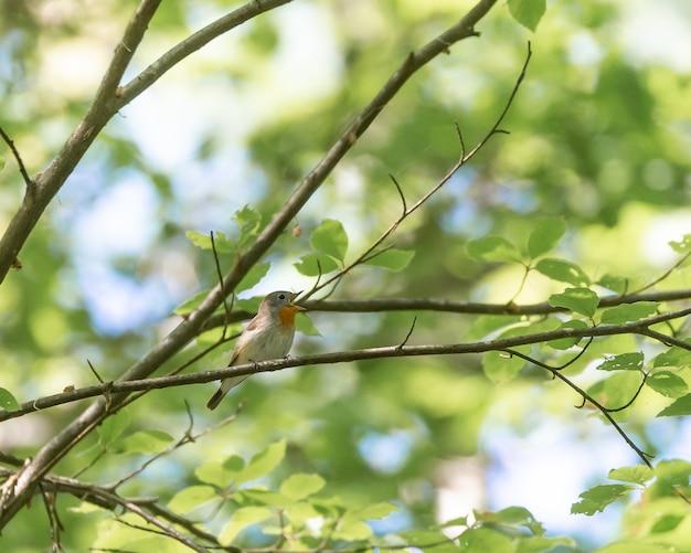 Ładny stary świat muchołówka siedzący na gałęzi drzewa