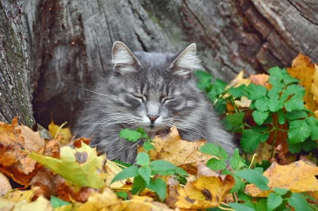 Ładny szary kot siedzi w opadłych suchych liściach, jesień