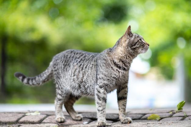Ładny szary pasiasty kot stojący na zewnątrz na letniej ulicy.