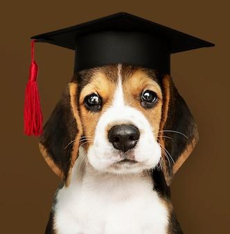 Ładny szczeniak beagle w czapce ukończenia szkoły