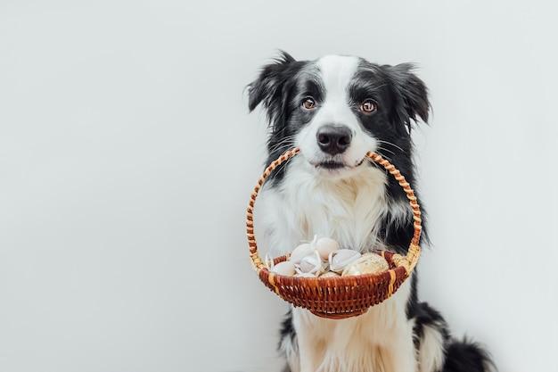 Ładny szczeniak pies rasy border collie trzymając kosz z kolorowych jaj wielkanocnych w ustach na białym tle
