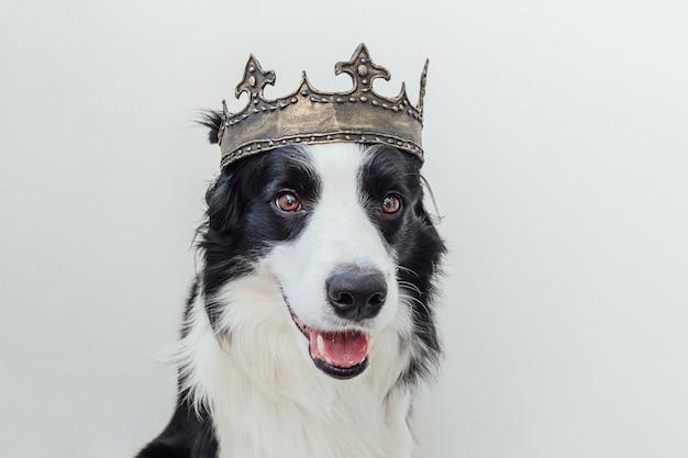 Ładny szczeniak pies z śmieszną twarz border collie sobie królewską koronę na białym tle