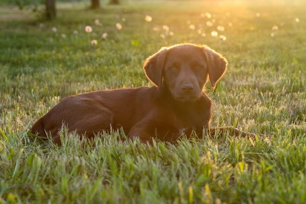 Ładny szczęśliwy młody brązowy szczeniak pies r. na trawie, podświetlany przez słońce na białym tle