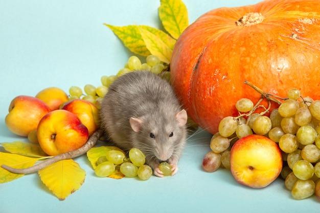 Ładny szczur dumbo z owocami i warzywami na niebieskim tle na białym tle. symbol roku szczura.