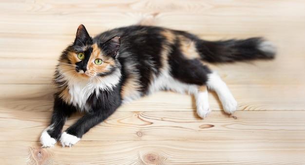 Ładny trójkolorowy pomarańczowo-czarno-biały młody kot leży na drewnianej podłodze. ulubione zwierzaki. widok z góry. skoncentruj się na pysku kota.