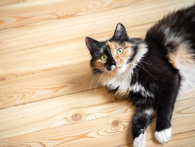 Ładny trójkolorowy pomarańczowo-czarno-biały młody kot leży na drewnianej podłodze. ulubione zwierzaki. widok z góry. skopiuj miejsce na tekst.