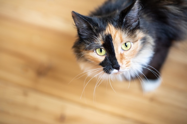 Ładny trójkolorowy pomarańczowo-czarno-biały młody kot stojący na drewnianej podłodze. ulubione zwierzaki. skopiuj miejsce