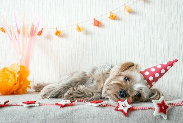 Ładny yorkshire terrier