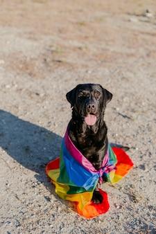 Ładny zabawny czarny pies labrador z kolorową tęczową flagą gejów.