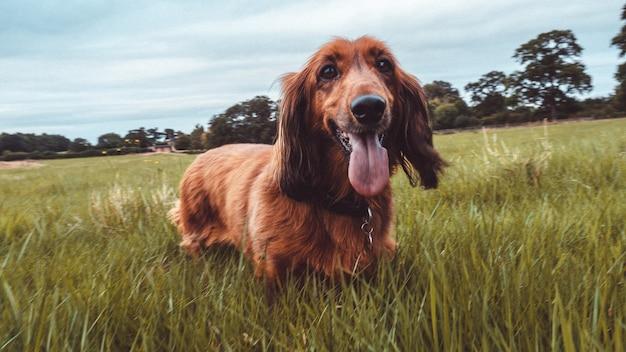 Ładny zabawny pies seter irlandzki działa w trawiastym polu z jego języka