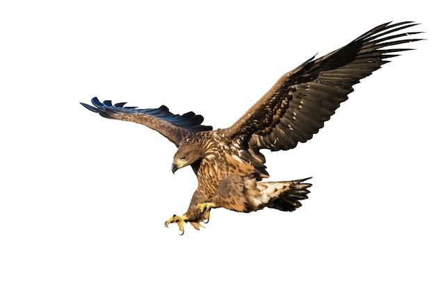 Lądowanie młodocianego orła bielika na białym tle