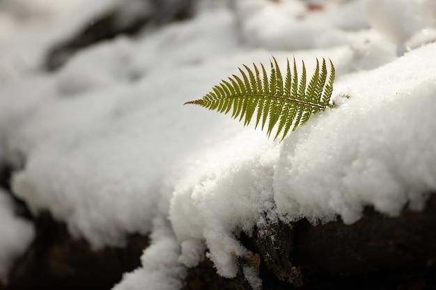 Lady paproć wyrastająca z pokrywy śnieżnej w okresie zimowym.