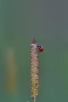 Ladybird ulowy na drzewie plaży