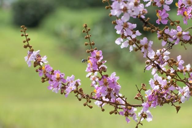 Lagerstreomia floribunda jack kwiat na zielonym tle naturalnych