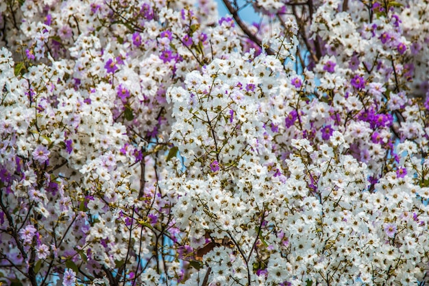 Lagerstroemia floribunda kwiatu tło, lato kwiat