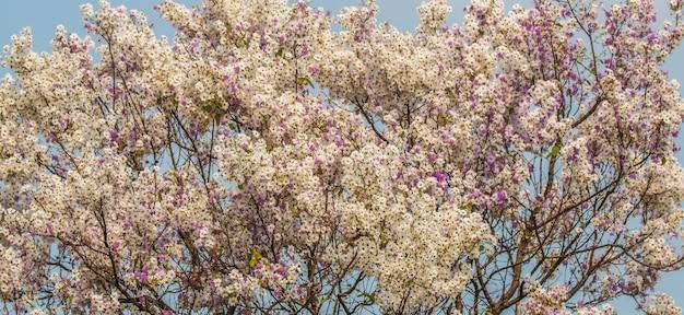 Lagerstroemia floribunda kwiatu tło