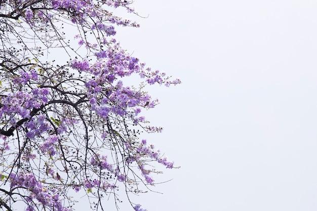 Lagerstroemia floribunda, purpurowy kwiat, tajlandzki kwiat, drzewo.