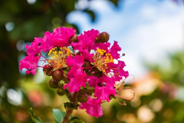 Lagerstromia lub indyjski liliowy w rozkwicie.