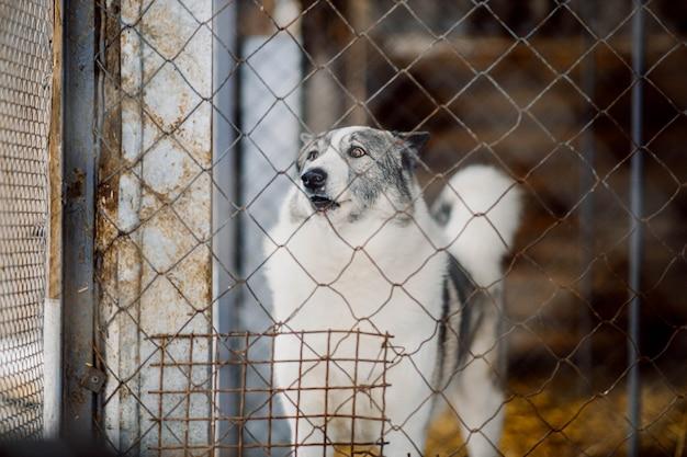 Łajka syberyjska pies w wolierze w klatce