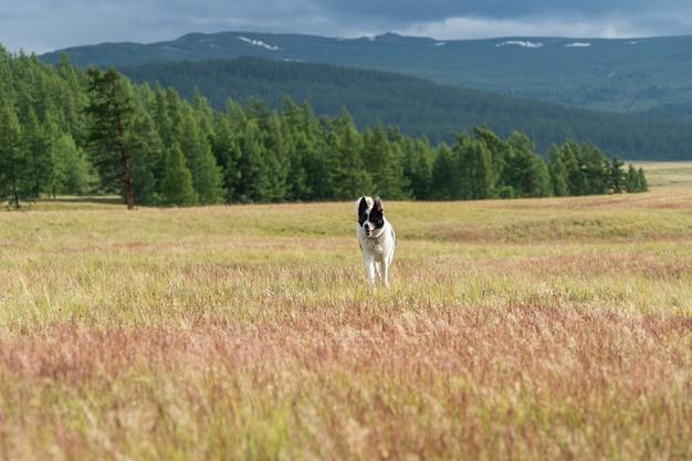 Łajka wschodniosyberyjska biegnie wzdłuż kwitnącego stepu w górach ałtaj