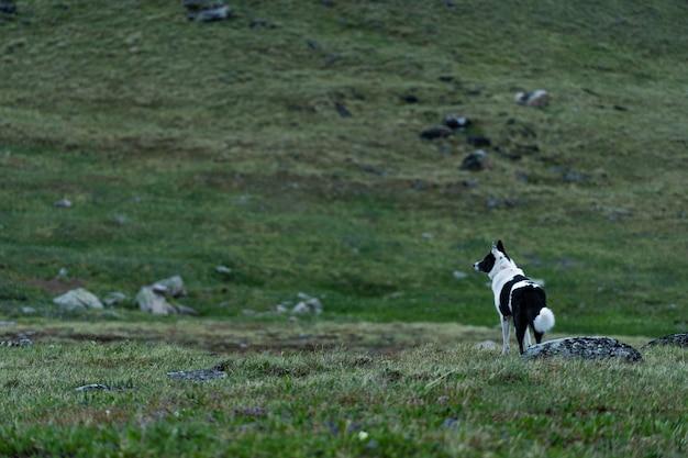 Łajka wschodniosyberyjska w górach ałtaj stoi u podnóża góry