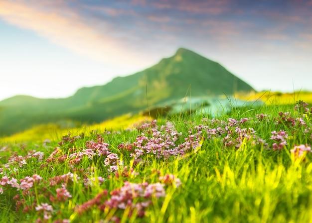 Łąka góralska w pirenejach