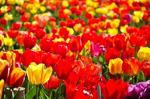Łąka kolorowe tulipany