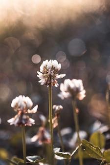Łąka koniczyny. koniczyna łąka na zamazanym w słońcu. wiosenno-letni delikatny kwiatowy. miękka ostrość.