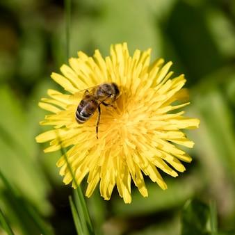 Łąka kwiaty mniszka lekarskiego, tło natura