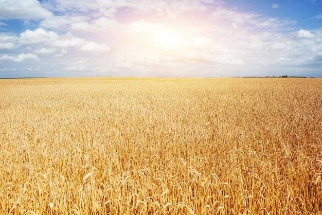 Łąka pszenicy pod niebem