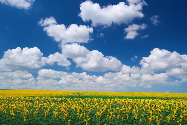 Łąka słoneczników