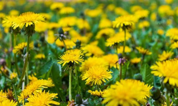 Łąka z mniszkami w słoneczny dzień. mlecze na wiosnę. kwitnące mlecze zbliżenie.