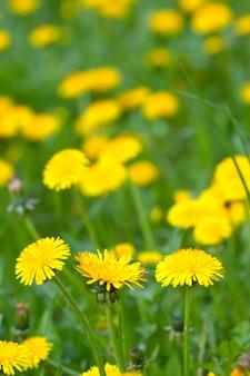 Łąka z żółtymi dandelions